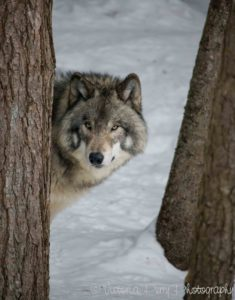 Wolf behind a tree